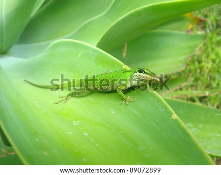Green color changing chameleon - the Green Anole lizard, Anolis carolinensis - stock photo