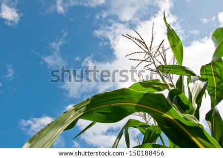 Green corn and flower and blue sky  on summer day.  - stock photo