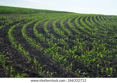 Green corn field - stock photo