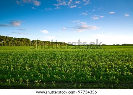 Green corn field at sunset - stock photo