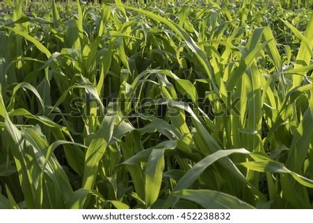 Green corn field at sunset, closeup view - stock photo