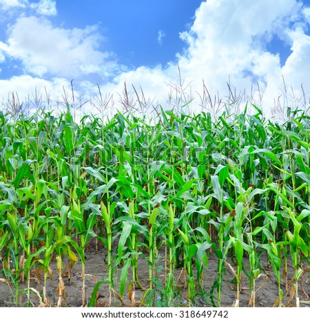 Green corn field,blue sky and sun on summer day. - stock photo