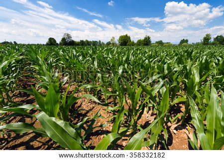 Green Corn Field / Corn field under a blue sky with clouds - stock photo