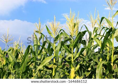 Green corn field growing up on blue sky. - stock photo