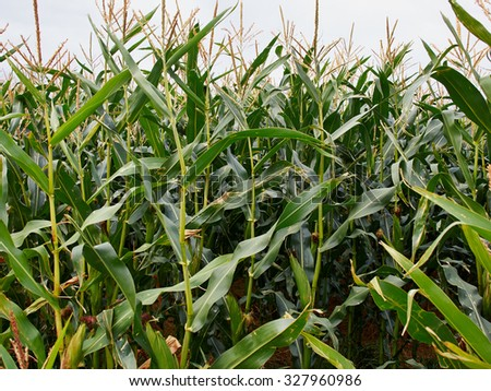 Green corn field - image taken from a low angle - stock photo