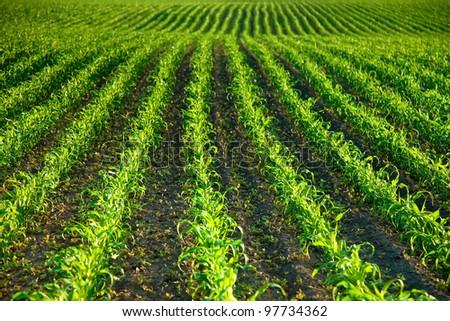 Green corn field in spring - stock photo