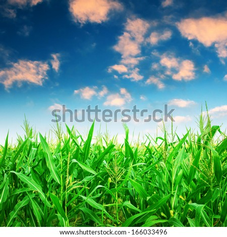 Green corn field under colorful sky. - stock photo