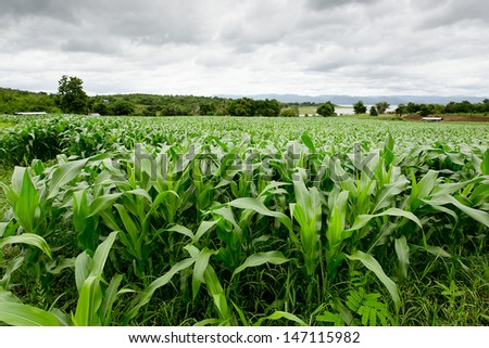 Green corn field,white clouds in Thailand - stock photo