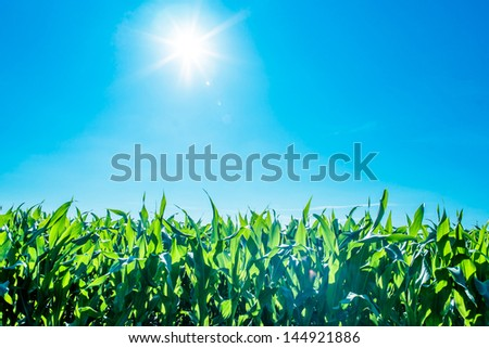 Green cornfield with sunshine and blue sky - stock photo