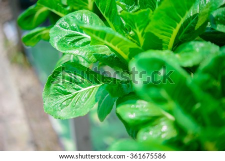 Green cos lettuce - stock photo