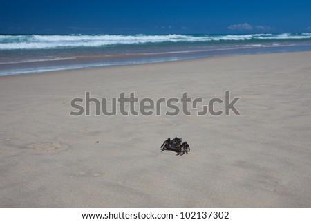 Green crab on a beach, Gold Coast, Queensland, Australia - stock photo