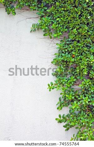 green creeper on the wall - stock photo