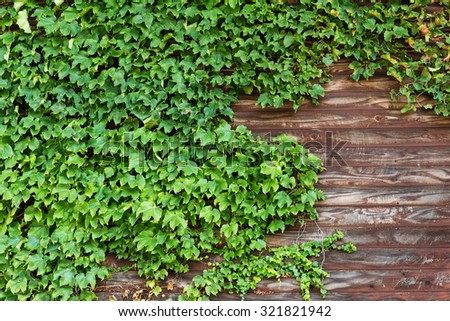 Green creeper over the wooden plank