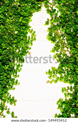 Green Creeper Plant growing on a brick wall. - stock photo