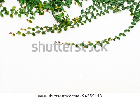 Green Creeper Plant growing on white wall - stock photo