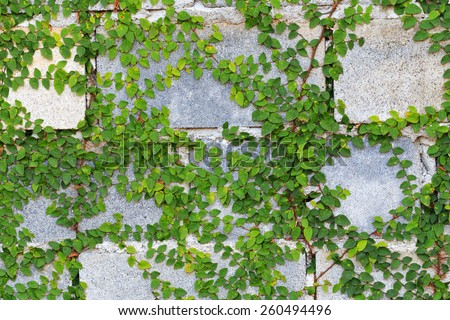 Green Creeper Plant on the Wall - stock photo