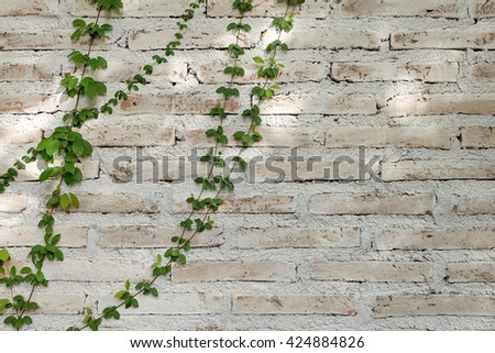 Green creeper tree on old wall,Stone carving, - stock photo