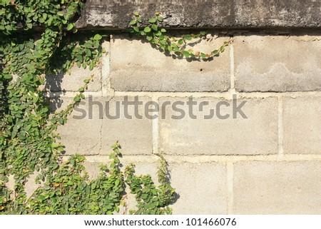 Green creeper tree on wall - stock photo