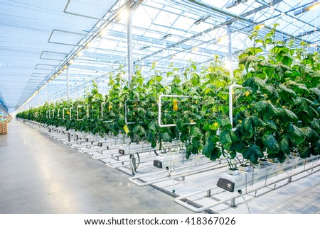 Green crop in modern greenhouse - stock photo