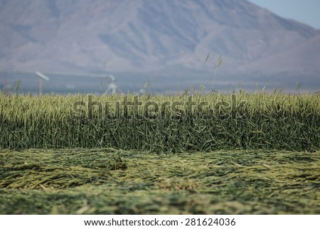 Green crop species for silage fodder/Landscape of Green Grain Crop for Silage/Crop of green grain for balage - stock photo