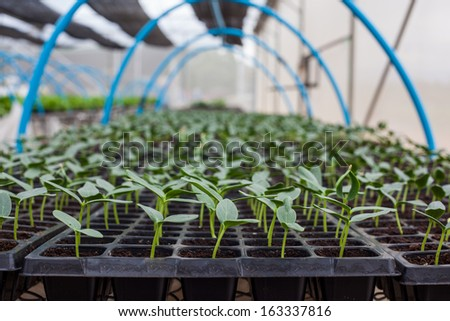 Green Cucumber seedling on tray in greenhouse - stock photo