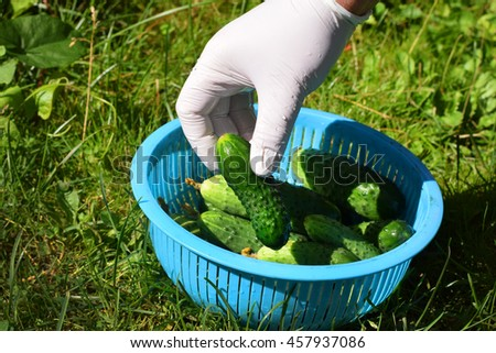 Green cucumbers in the light blue vegetable bowl on the green grass in summer season home garden on the sun