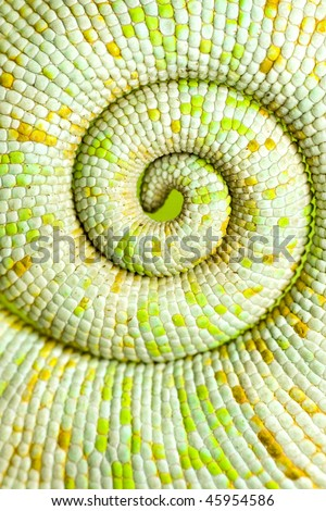 Green curled up chameleon tail - stock photo