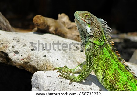 Green cute iguana sitting on the beach stone. Wild animal looking like small dragon on the exotic tropical island. Adventure vacation with tropical wildlife.