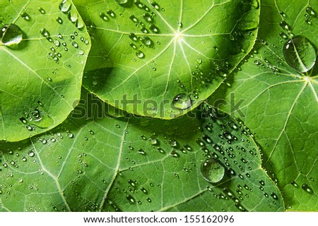 green dewy leaves - stock photo
