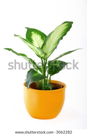 Green diffenbachia in pot over white background