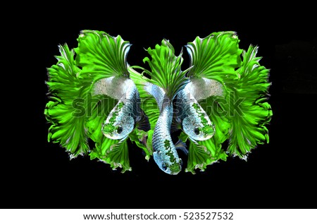 Green dragon siamese fighting fish, betta fish isolated on black background.3 Green dragon siamese fighting fish.