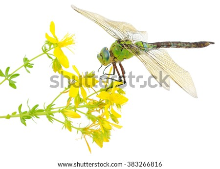 Green dragonfly on a yellow flower. Isolated on white. - stock photo