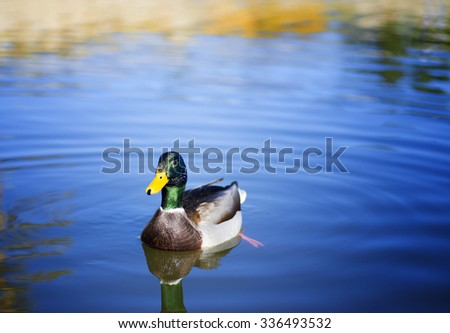Green Duck Swimming