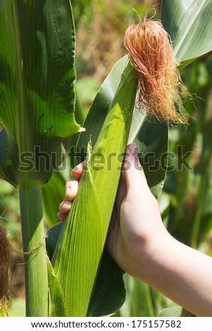 Green ear of corn in girl hand. Corn field closeup. - stock photo