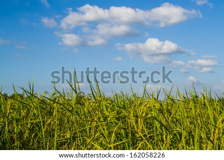 Green ear of paddy in the rice field.