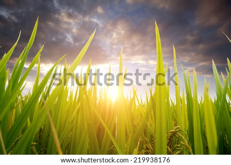 Green ear of rice in paddy rice field  - stock photo