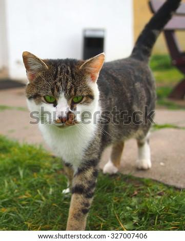 Green eye tabby cat looking into the camera.  - stock photo