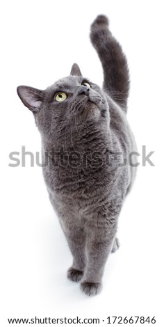 Green eyed Maltese cat also known as the British Blue on a white background - stock photo