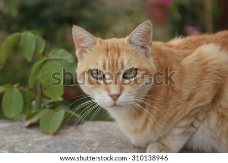 Green eyed orange cat. Tabby cat portrait. - stock photo