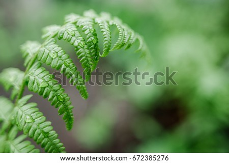 Green fern close up with raindrops on its leaves in green garden