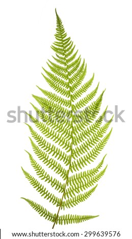 Green fern leaf isolated on white background - stock photo