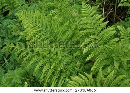 Green ferns in coastal forest,  Oregon Coast - stock photo