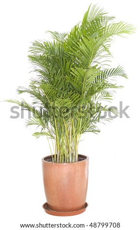 Green ficus tree in a brown pot. Isolated white. - stock photo