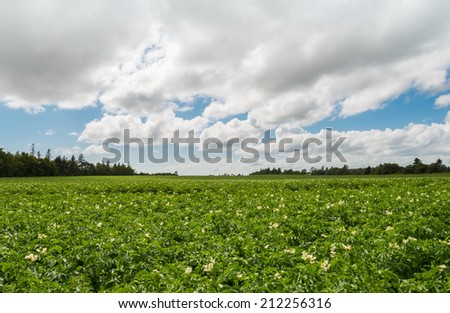 Green field of potatoes (Green Gables Shore, Prince Edward Island , Canada) - stock photo