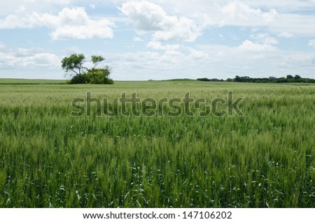 Green field of winter wheat heading out. - stock photo