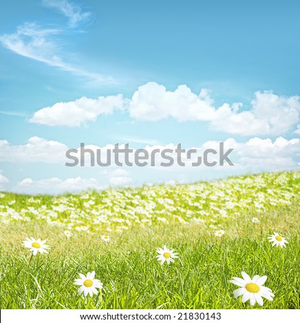 Green field with chamomile  flowers