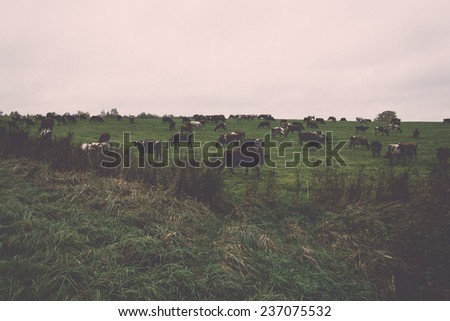 green field with cows in the autumn in country - retro, vintage style look - stock photo