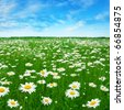 Green field with daisies and blue sky. - stock photo
