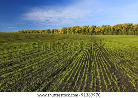 Green field with sprouted wheat - stock photo