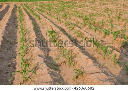 Green field with young corn - stock photo